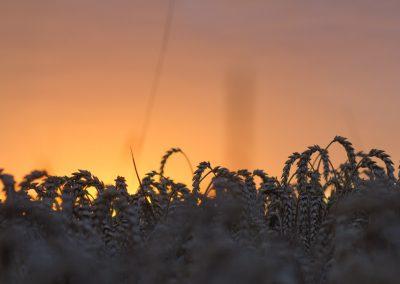 Getreide vor Sonnenuntergang Rügen