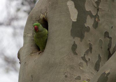 Papagei im Baum Istanbul