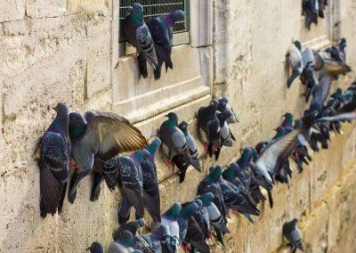 Tauben an Mauer Istanbul